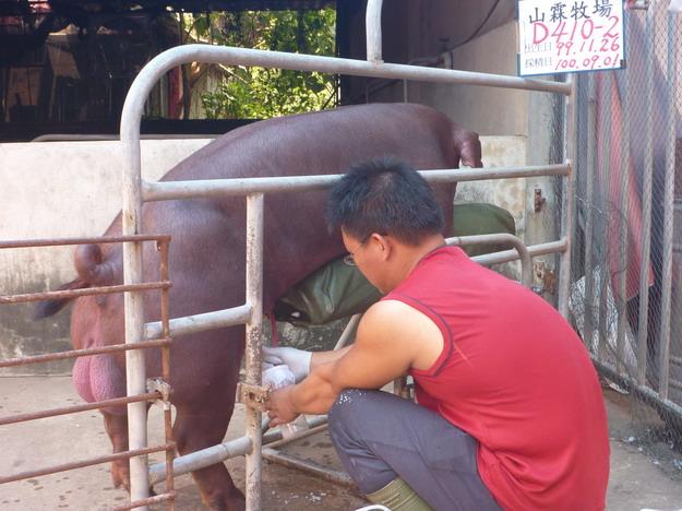 台灣區種豬產業協會10008期D10-02採精相片