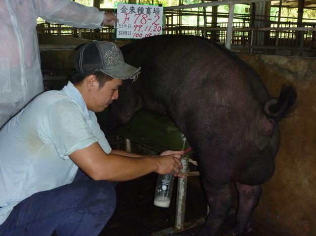 台灣區種豬產業協會10008期F0078-02採精相片