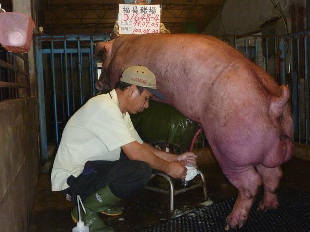 台灣區種豬產業協會10008期D1648-04採精相片