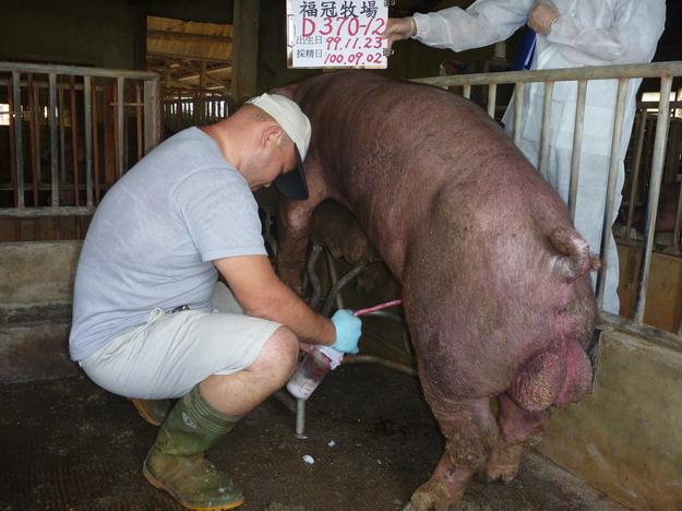 台灣區種豬產業協會10008期D0370-12採精相片