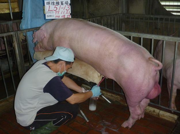台灣區種豬產業協會10008期L0051-13採精相片