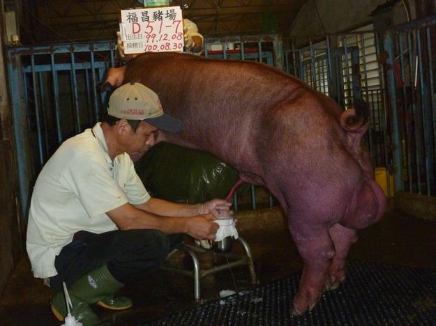 台灣區種豬產業協會10008期D0051-07採精相片