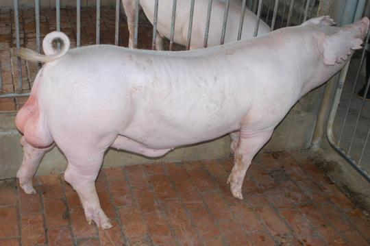 中央畜產會201103期L1588-07體型-全身相片