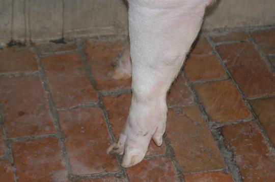 中央畜產會201103期L1208-01體型-四肢相片
