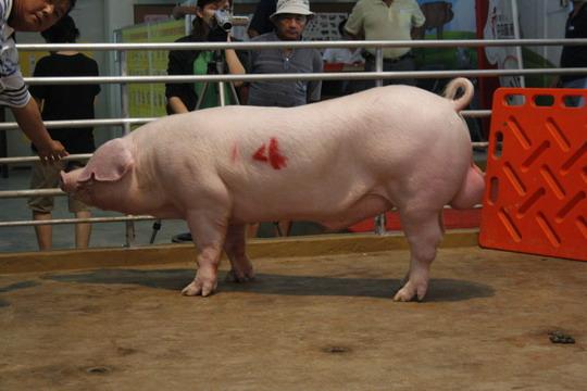 台灣區種豬產業協會10006期L1114-03拍賣相片(高價豬)