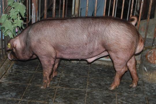 中央畜產會201104期D0031-04體型-全身相片