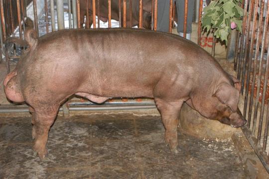 中央畜產會201104期D0039-03體型-全身相片