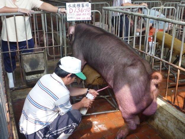 台灣區種豬產業協會10009期D0136-10採精相片