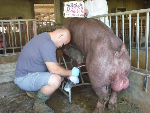台灣區種豬產業協會10009期D0377-08採精相片