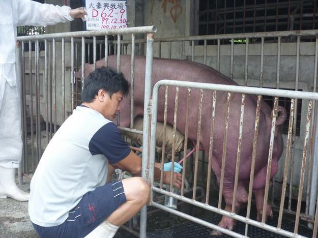 台灣區種豬產業協會10009期D0062-09採精相片