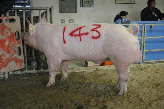 台灣動物科技研究所竹南檢定站9907期Y0526-08拍賣相片(高價豬)