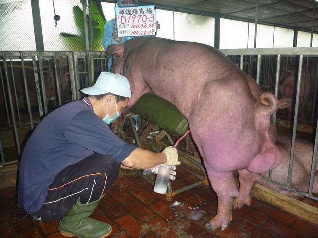 台灣區種豬產業協會10010期D1970-03採精相片