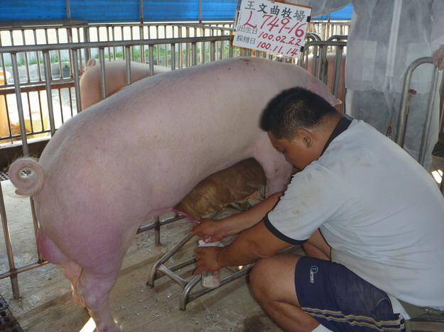 台灣區種豬產業協會10010期L0749-16採精相片