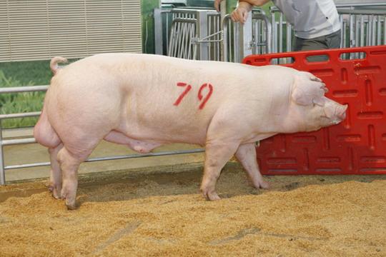 中央畜產會201104期L0583-06拍賣照片(高價豬)