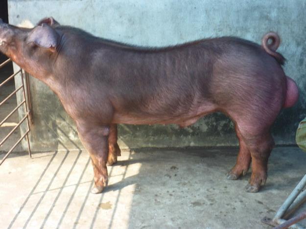 台灣區種豬產業協會10010期D0416-02側面相片