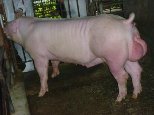 台灣區種豬產業協會10010期L1134-04側面相片