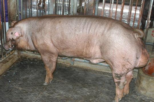 中央畜產會201105期D0409-06體型-全身相片