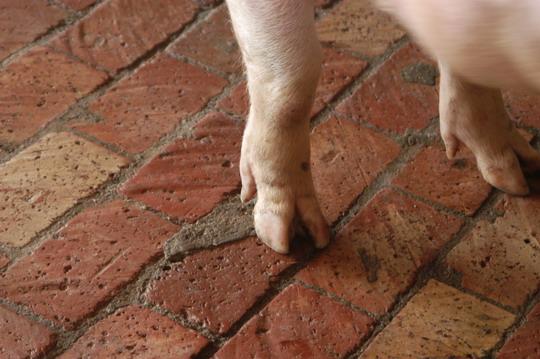 中央畜產會201105期L0024-05體型-四肢相片