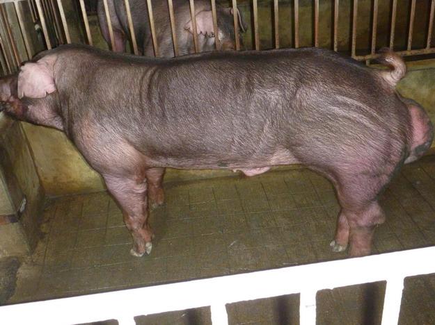 台灣區種豬產業協會10010期D1020-05側面相片