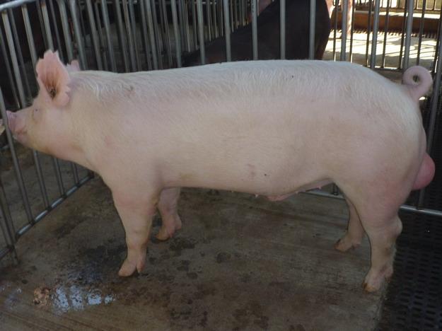 台灣區種豬產業協會10010期Y0745-12側面相片