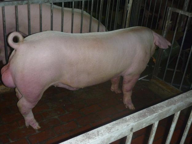 台灣區種豬產業協會10010期L0086-12側面相片