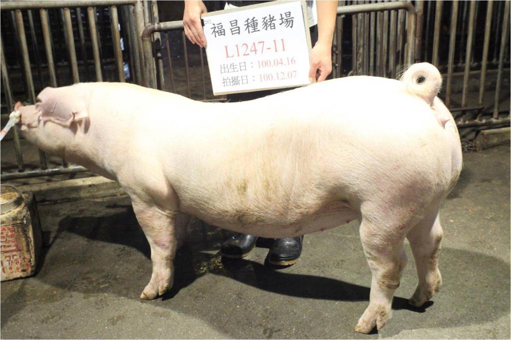 台灣區種豬產業協會10011期L1247-11側面相片
