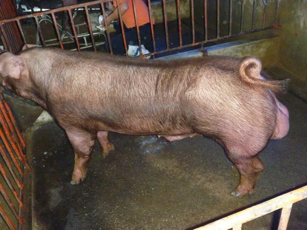 台灣區種豬產業協會10011期D0037-01側面相片