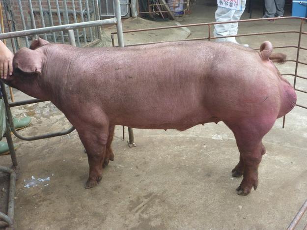台灣區種豬產業協會10011期D0903-04側面相片