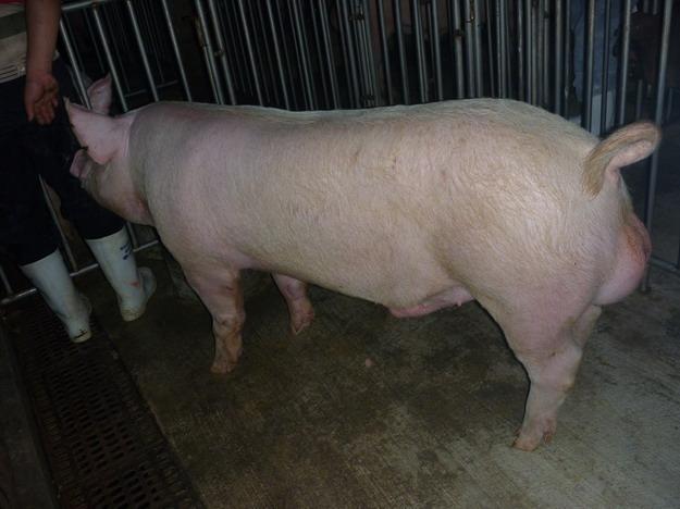 台灣區種豬產業協會10011期Y0756-14側面相片