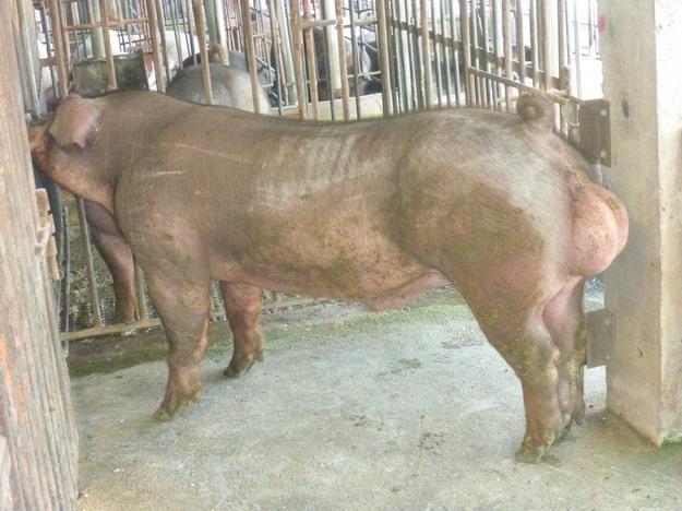 台灣區種豬產業協會10011期D0427-01側面相片
