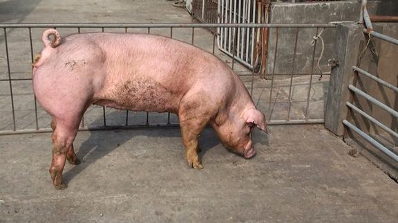 台灣區種豬產業協會10011期D0192-04側面相片