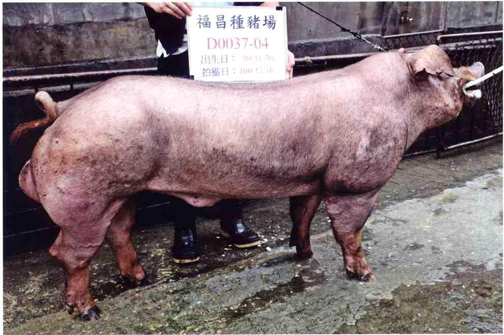 台灣區種豬產業協會10011期D0037-04側面相片