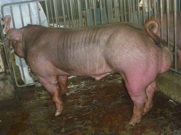 台灣區種豬產業協會10011期D0481-07側面相片
