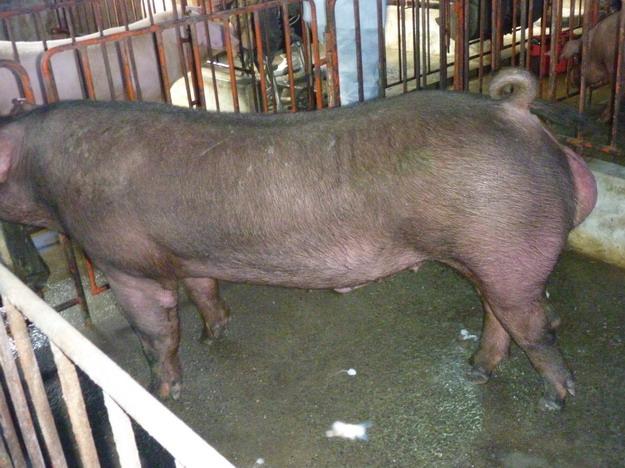 台灣區種豬產業協會10011期D38-02側面相片