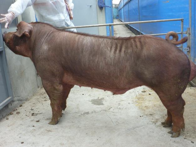 台灣區種豬產業協會10011期D0368-12側面相片