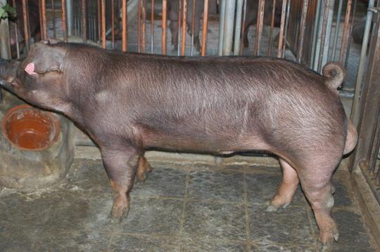 中央畜產會201107期D0427-02體型-全身相片