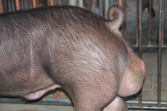 中央畜產會201107期D0427-02體型-尾根相片