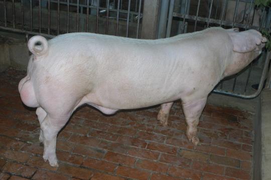 中央畜產會201107期L0366-02體型-全身相片