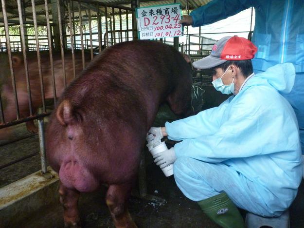 台灣區種豬產業協會10101期D0293-04採精相片
