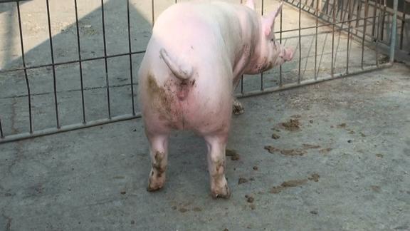 台灣區種豬產業協會10101期Y1117-07後側相片