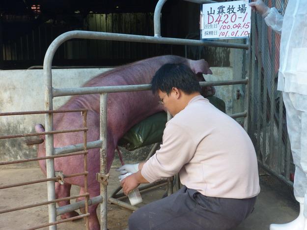 台灣區種豬產業協會10101期D0420-01採精相片