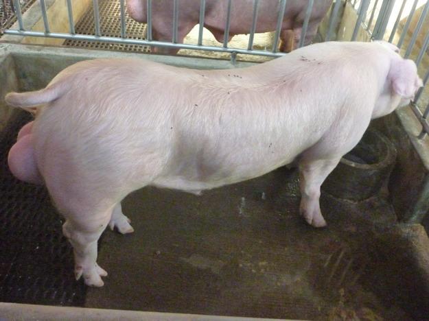 台灣區種豬產業協會10101期L0763-09側面相片
