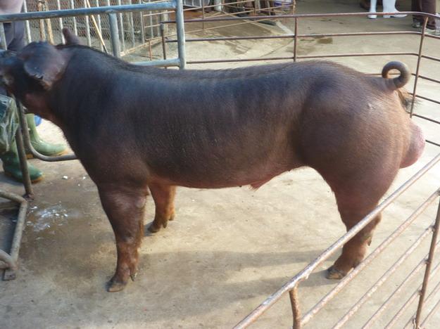 台灣區種豬產業協會10101期D0422-02側面相片