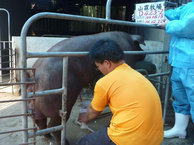 台灣區種豬產業協會10102期D0423-02採精相片
