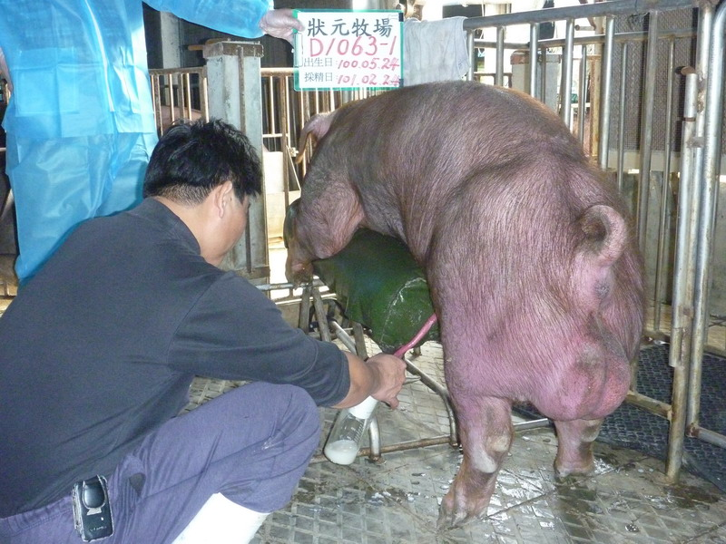 台灣區種豬產業協會10102期D1063-01採精相片