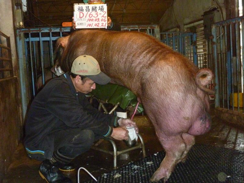 台灣區種豬產業協會10102期D0163-02採精相片