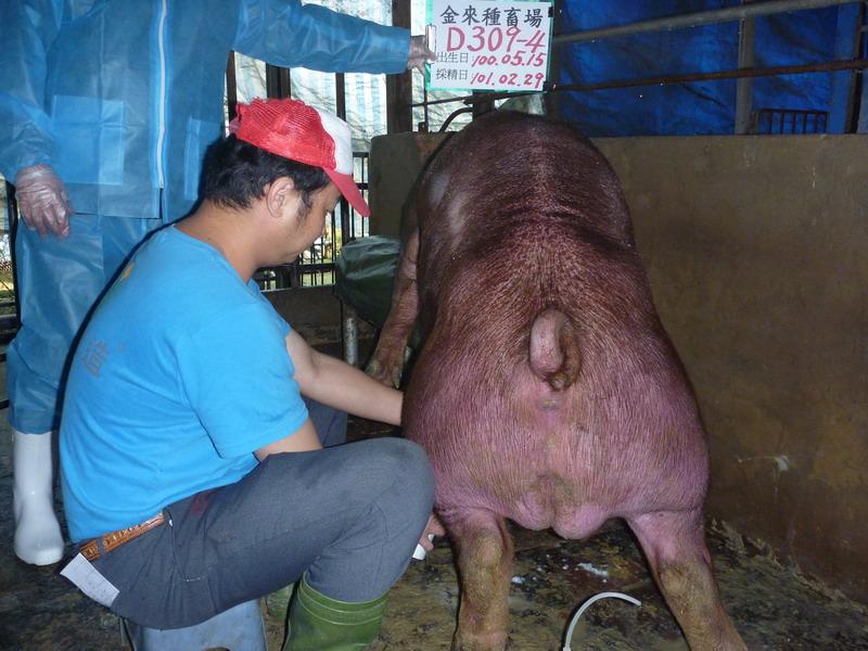 台灣區種豬產業協會10102期D0309-04採精相片