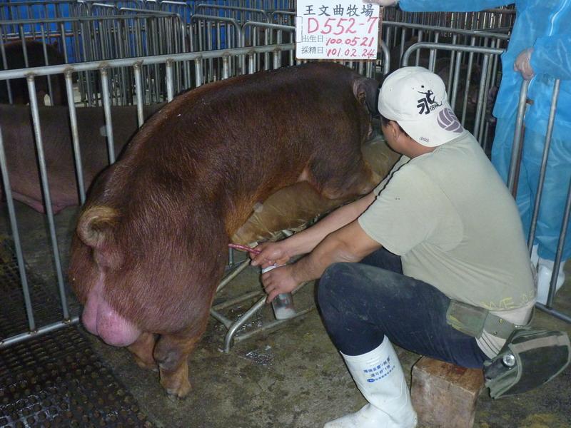 台灣區種豬產業協會10102期D0552-07採精相片