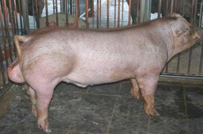 中央畜產會201109期D0050-02體型-全身相片