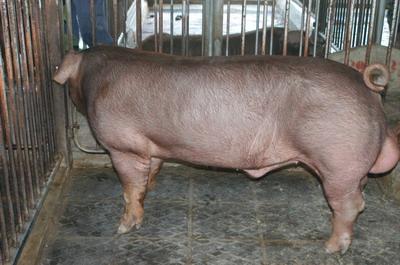中央畜產會201109期D0556-03體型-全身相片